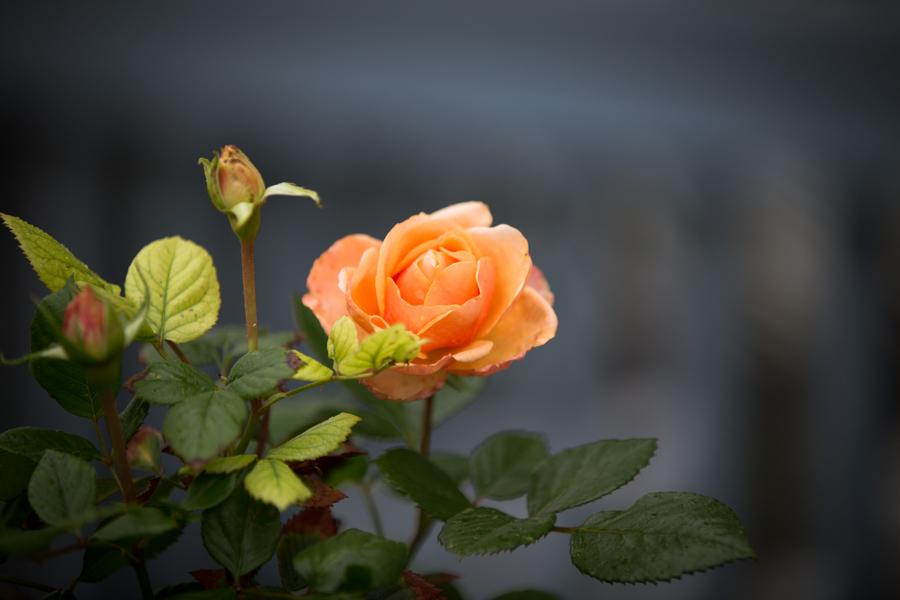 December_Rose