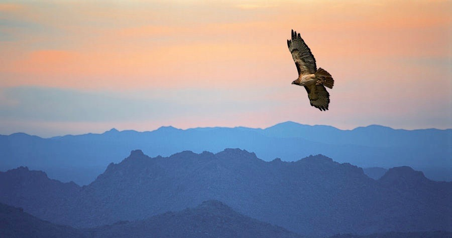 soaring-red-tailed-hawk-at-sunset-randall-nyhof